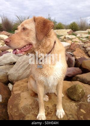 A very wet but happy golden Labrador cross dog sitting on rocks at the seaside - Stock Photo