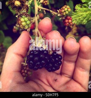 Picking blackberries - Stock Photo