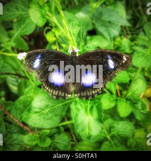 Diadem butterfly resting on a leaf with open wings - Stock Photo