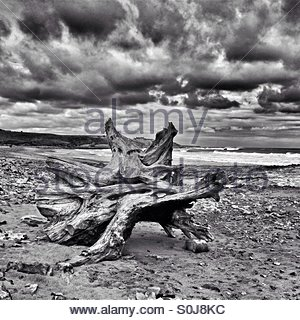 Large piece of driftwood on a Northumberland beach, under a brooding sky. - Stock Photo