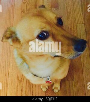 Dog on hardwood floor - Stock Photo