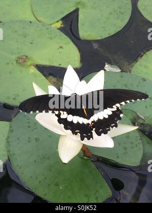 Butterfly on Water lily - Stock Photo