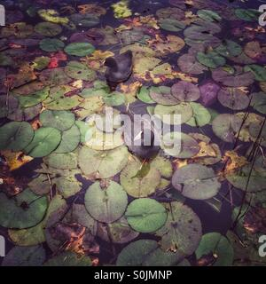 Two coots swimming amongst water lilies. - Stock Photo