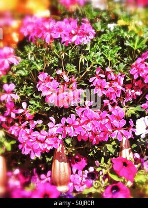 Close up of pink geraniums in window box - Stock Photo