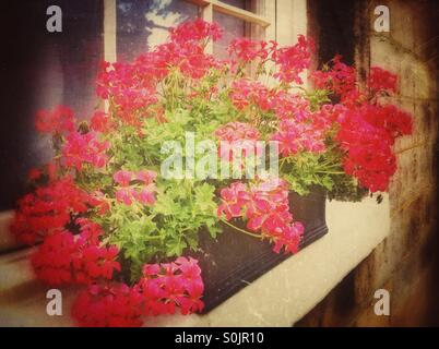 Pink geraniums in window box - Stock Photo