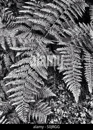 Fern fronds in black and white Stock Photo