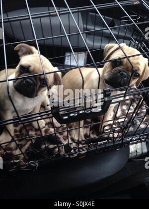 Pug Puppies in transit - Stock Photo