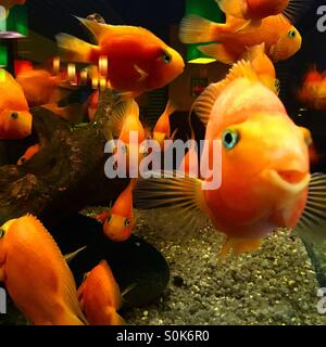 a lot of gold fishes in aquarium - Stock Photo