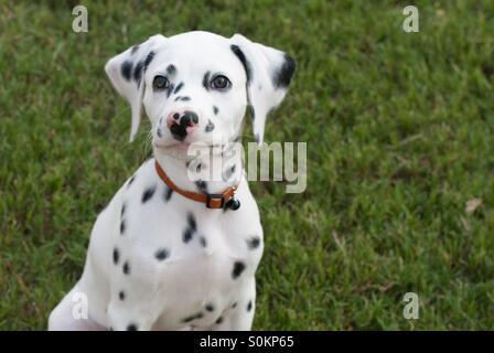 14 week old Dalmatian puppy - Stock Photo
