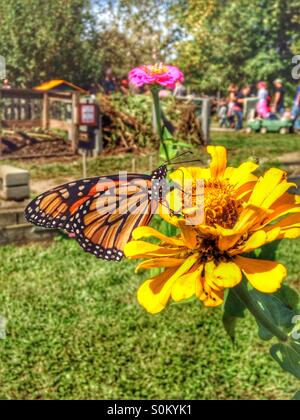 A monarch butterfly on a yellow zinnia. - Stock Photo