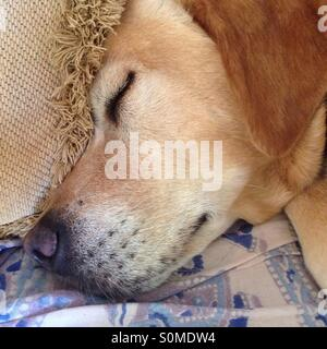 Sleeping dog relaxing on couch at home - Stock Photo
