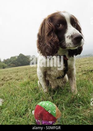 Eye contact. A spaniel watches over his ball - Stock Photo