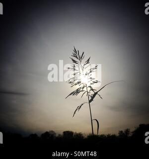 Grass seed head against sky - Stock Photo