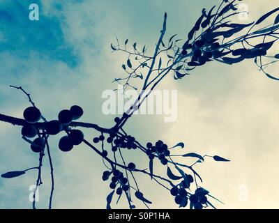 Eucalyptus tree silhouette with leaves and gum nuts - Stock Photo