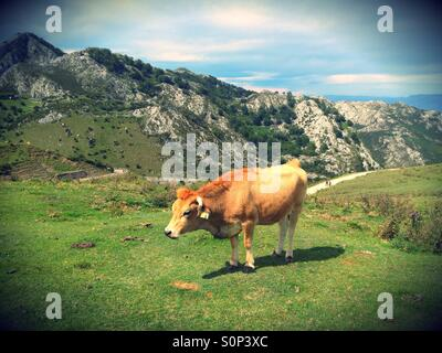 Cow in a pasture at Covadonga Lakes in Picos de Europa, Asturias - Spain - Stock Photo