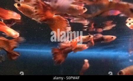 Guppy fish swim in a fish tank - Stock Photo