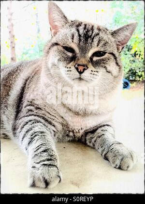 One female domestic tabby cat lounging on an outdoor table. - Stock Photo