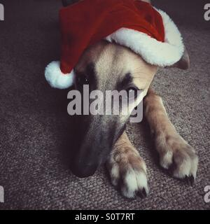 Portrait of a whippet dog in a Santa hat resting his/her head on their paws - Stock Photo