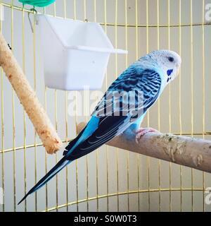 blue canary bird in a birdcage - Stock Photo