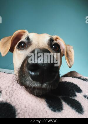 Young whippet puppy dog face portrait - Stock Photo