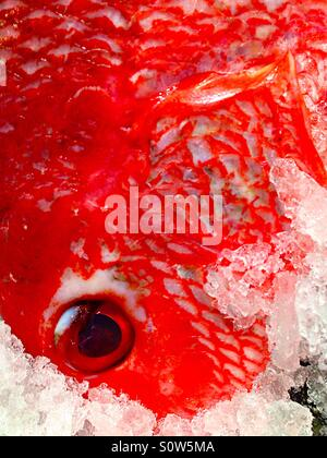 Red fish on ice - Stock Photo