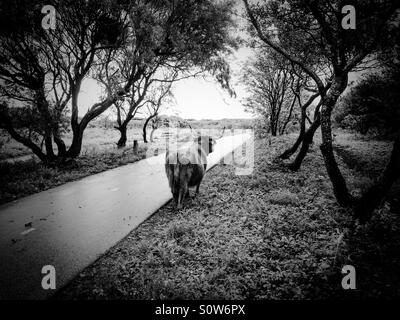 Scottish Highlander walking along cycle track in the dunes near The Hague, Netherlands. - Stock Photo