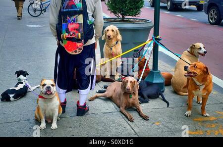 Dog walker in New York City - Stock Photo