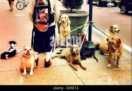 Dog walker in New York City, USA - Stock Photo