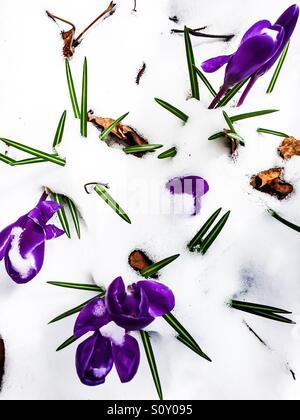 Crocuses in snow - Stock Photo