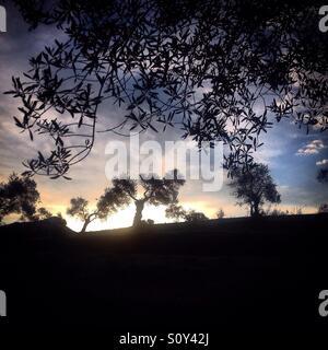 Sunrise in O-Live Medioambiente Association's olive orchard in Prado del Rey, Sierra de Cadiz, Andalusia, Spain - Stock Photo