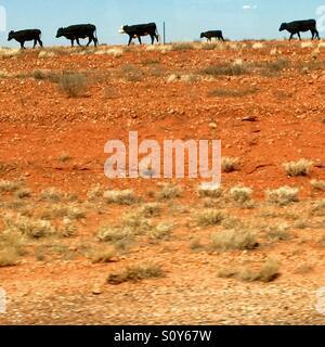 Australian outback cows - Stock Photo