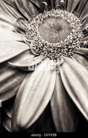 Gerbera daisy, noir black and white  macro - Stock Photo