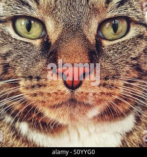 Pet tabby cat portrait. - Stock Photo