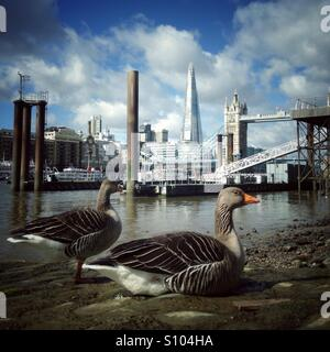 Geese on the foreshore of the river thames with tower bridge and the shard in the distance - Stock Photo