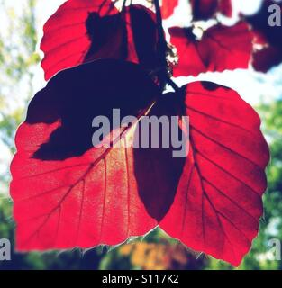 Sunlight shining through red leaves - Stock Photo