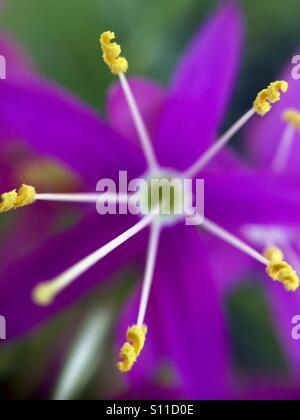 Macro of mountain pinks' anthers - Stock Photo