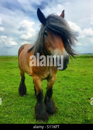 Belgian draft horse against a dark blue sky - Stock Photo