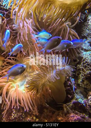 Fishes and anemones in an aquarium - Stock Photo