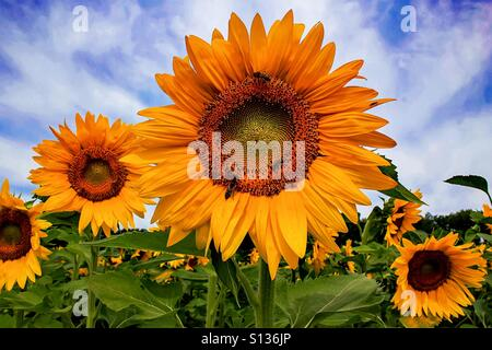 Sunflowers and bees - Stock Photo