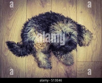 Looking down from above onto a furry, hairy dog looking upwards to the camera who is laying on a wooden floor. - Stock Photo