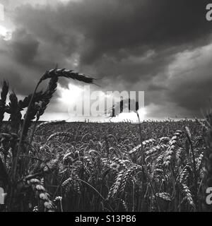Wheat field against stormy sky in Britain - Stock Photo