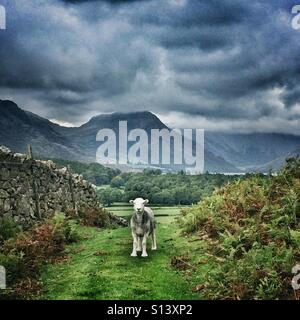 A Herdwick sheep in Cumbria, Lake District - Stock Photo