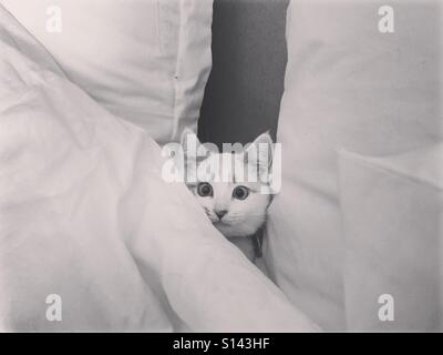 A funny photo of a white cat hiding in white pillows and blankets. - Stock Photo