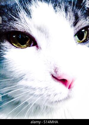Extreme close-up portrait of tuxedo tabby cat, face head - Stock Photo
