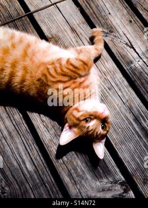 Portrait of orange and white tabby cat playing on outdoor deck - Stock Photo