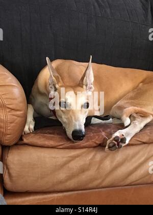 Red greyhound on brown leather couch with perked up ears. - Stock Photo