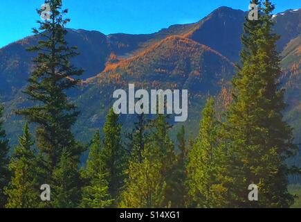 Larches in Banff National Park. Alberta, Canada - Stock Photo