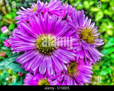Patterns in Nature - Michaelmas daisy flower - Stock Photo