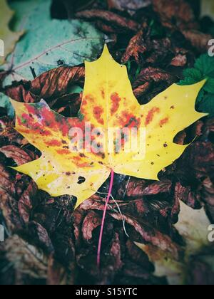 Yellow autumn leaf on brown leafs - Stock Photo