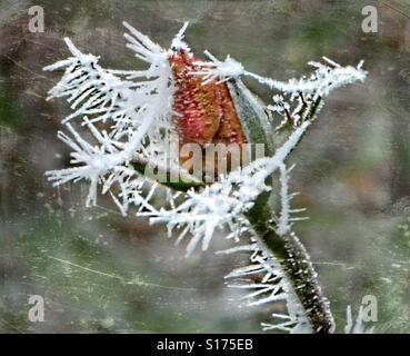 Frozen rose beauty. - Stock Photo
